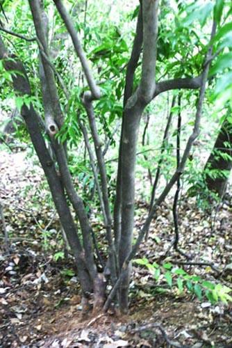 野茶树,老英茶,系山茶科,柃木属,主要特征:常绿灌木或小乔木,高1—4m